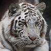 Tigre - JPEG, 100x100 pixels, 20.9 KB
