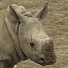 Rinoceronte - JPEG, 100x100 pixels, 17.9 KB