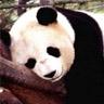 Oso panda - JPEG, 96x96 pixels, 8.7 KB