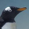 Pingüino - JPEG, 100x100 pixels, 13.6 KB
