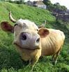 vaca - PNG, 99x104 pixels, 29.2 KB
