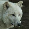 Lobo - JPEG, 100x100 pixels, 17.7 KB